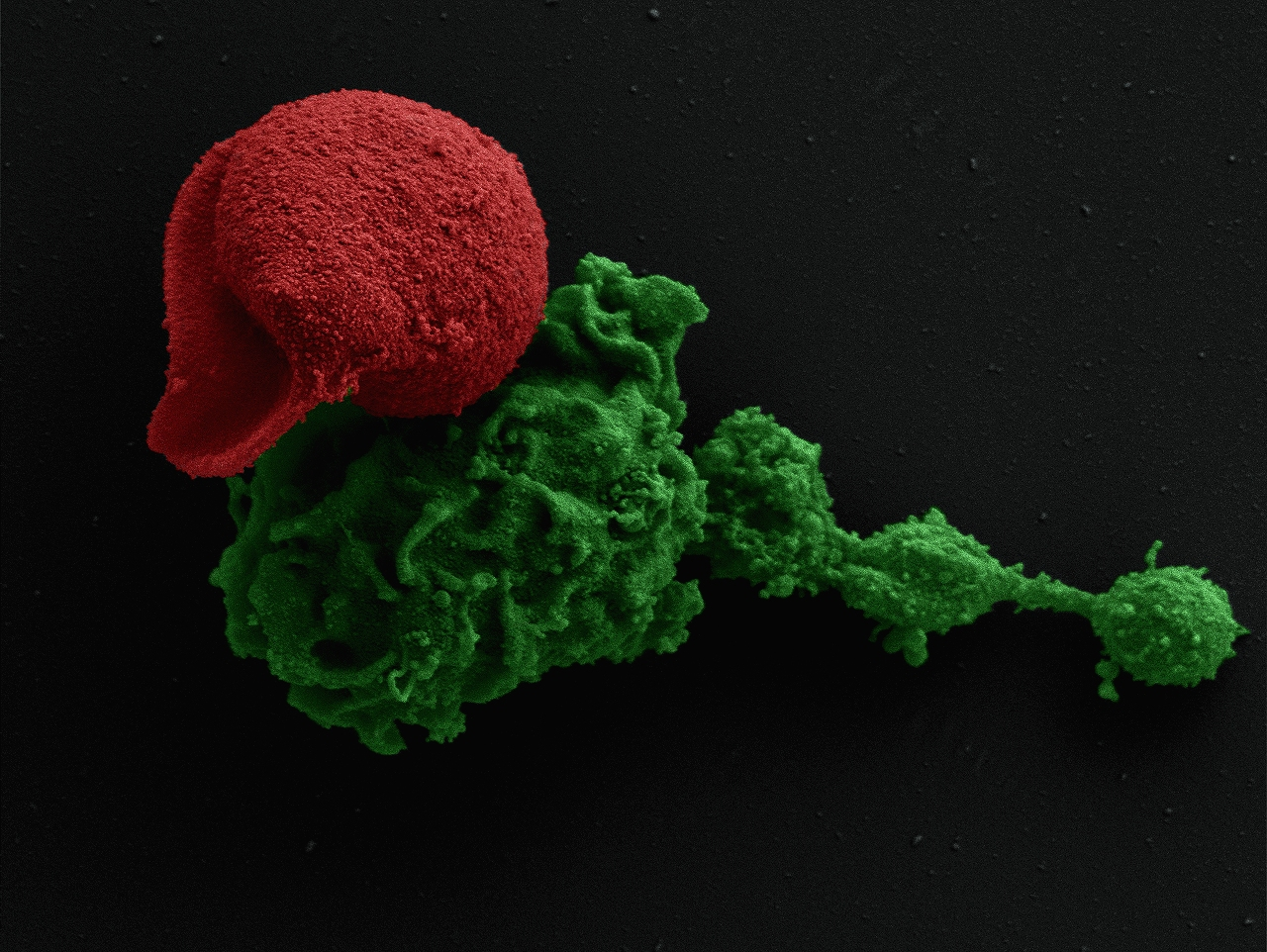 Macrophage (green) attachment to blood stage of the myxozoan Sphaerospora molnari (red)